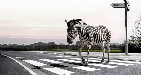zebra-crossing(1)775